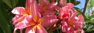 Frangipani Blooming