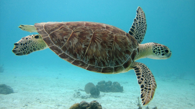Swim with Turtles at Tobago Cays